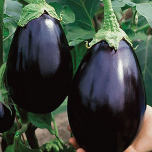 Eggplant.Black Beauty